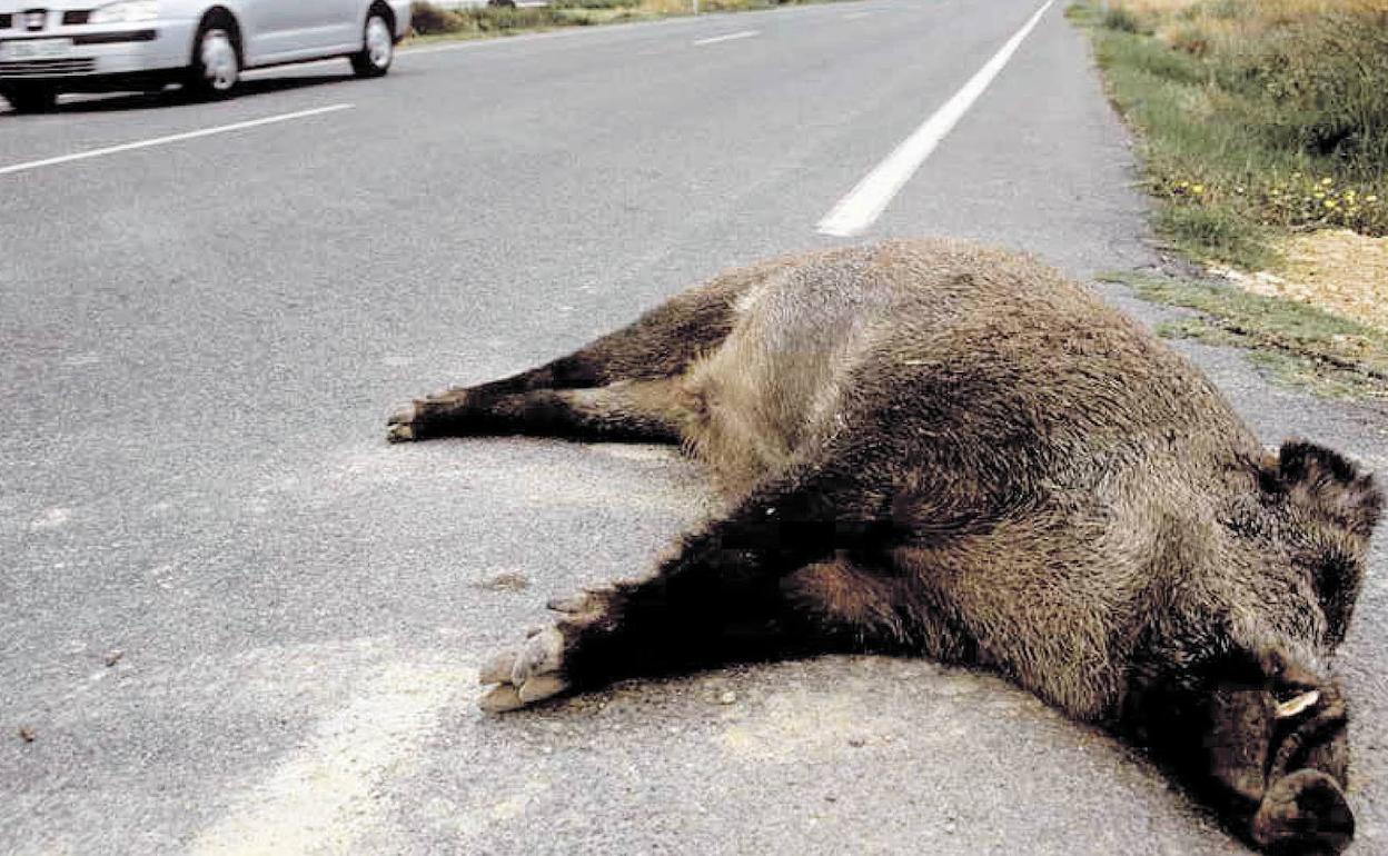 jabali muerto en la cuneta tras atropello de un coche